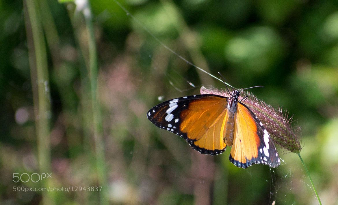 Photograph Butterfly by Varadharajan .C on 500px