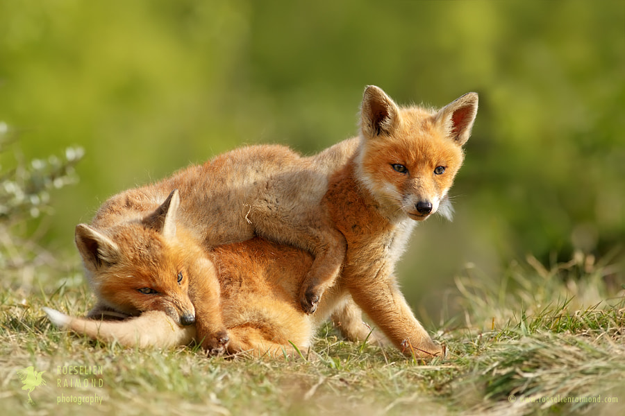 Gonna Eat Ya Tail, Bro!  (Playing Fox Kits) by Roeselien Raimond on 500px.com
