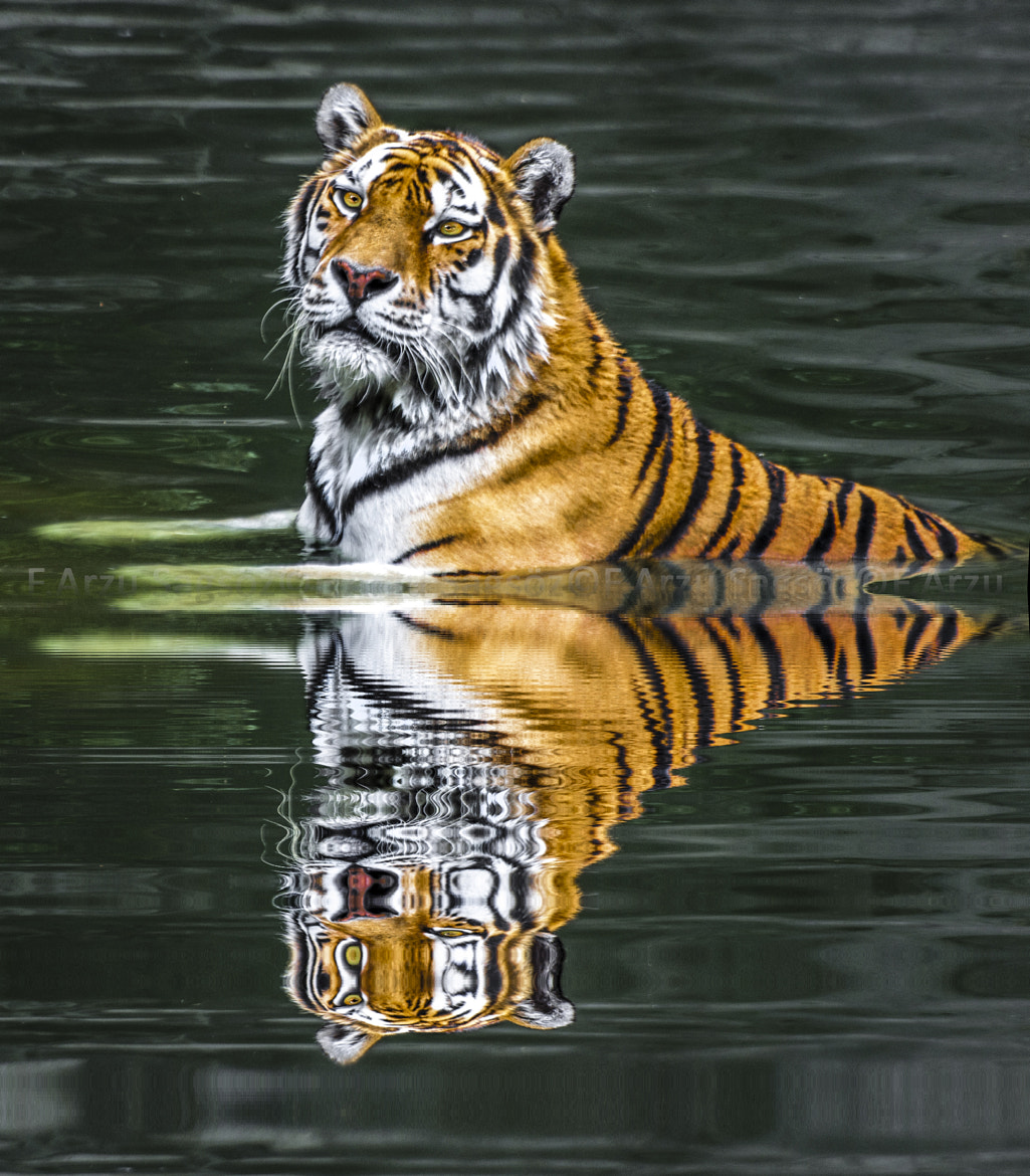 Photograph Tiger's water pleasure 02 by FATMA ARZU SAGSOZ on 500px