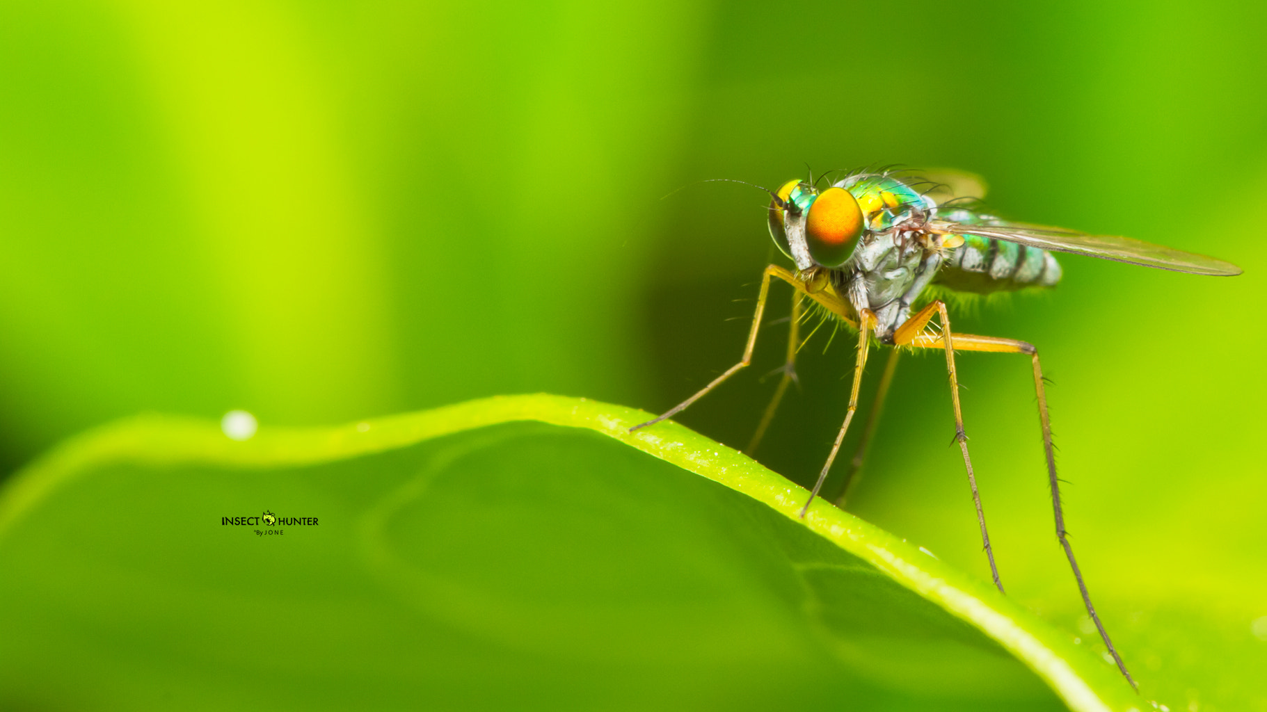 Photograph  long-legged fly by Buffalo BlogGang on 500px
