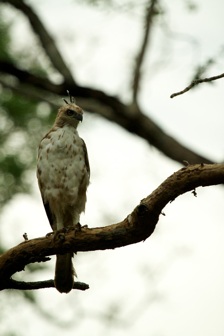 Photograph changeable hawk eagle by Anuj Gupta on 500px
