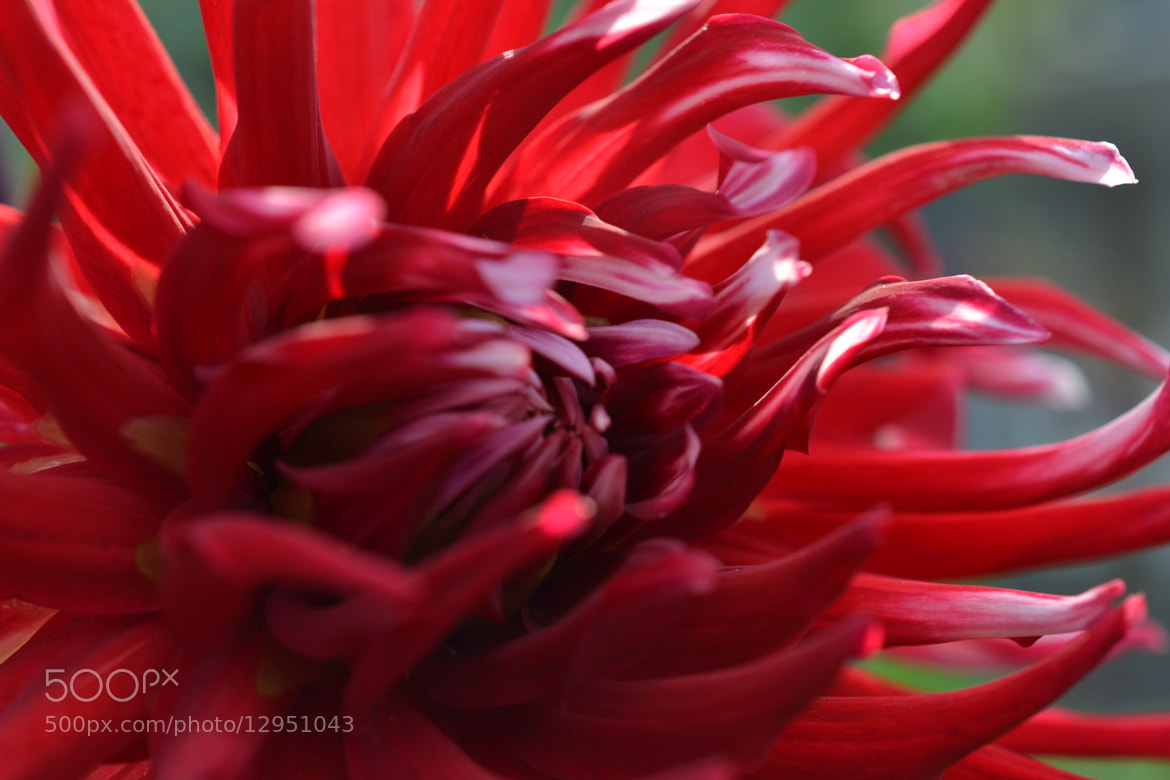 Photograph Red Dahlia by Peter Hutjens on 500px