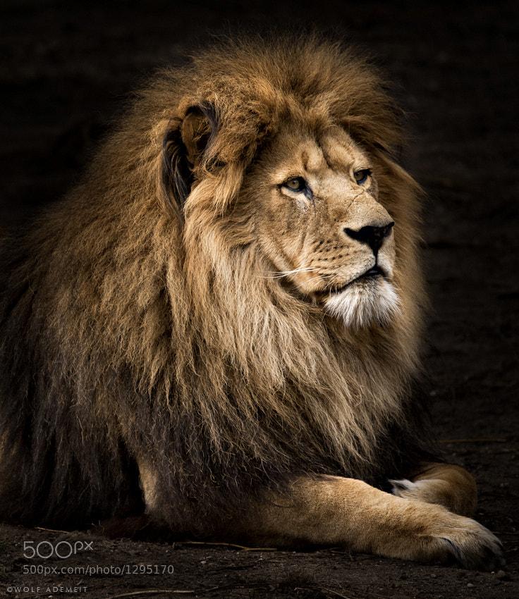 12 lion