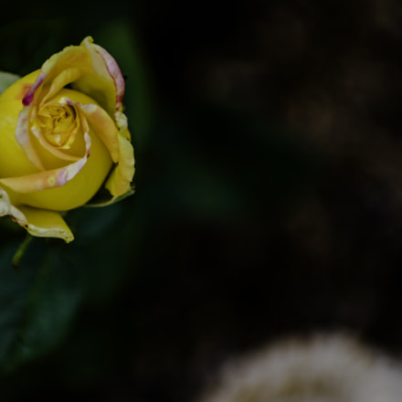 Rose Bud crop