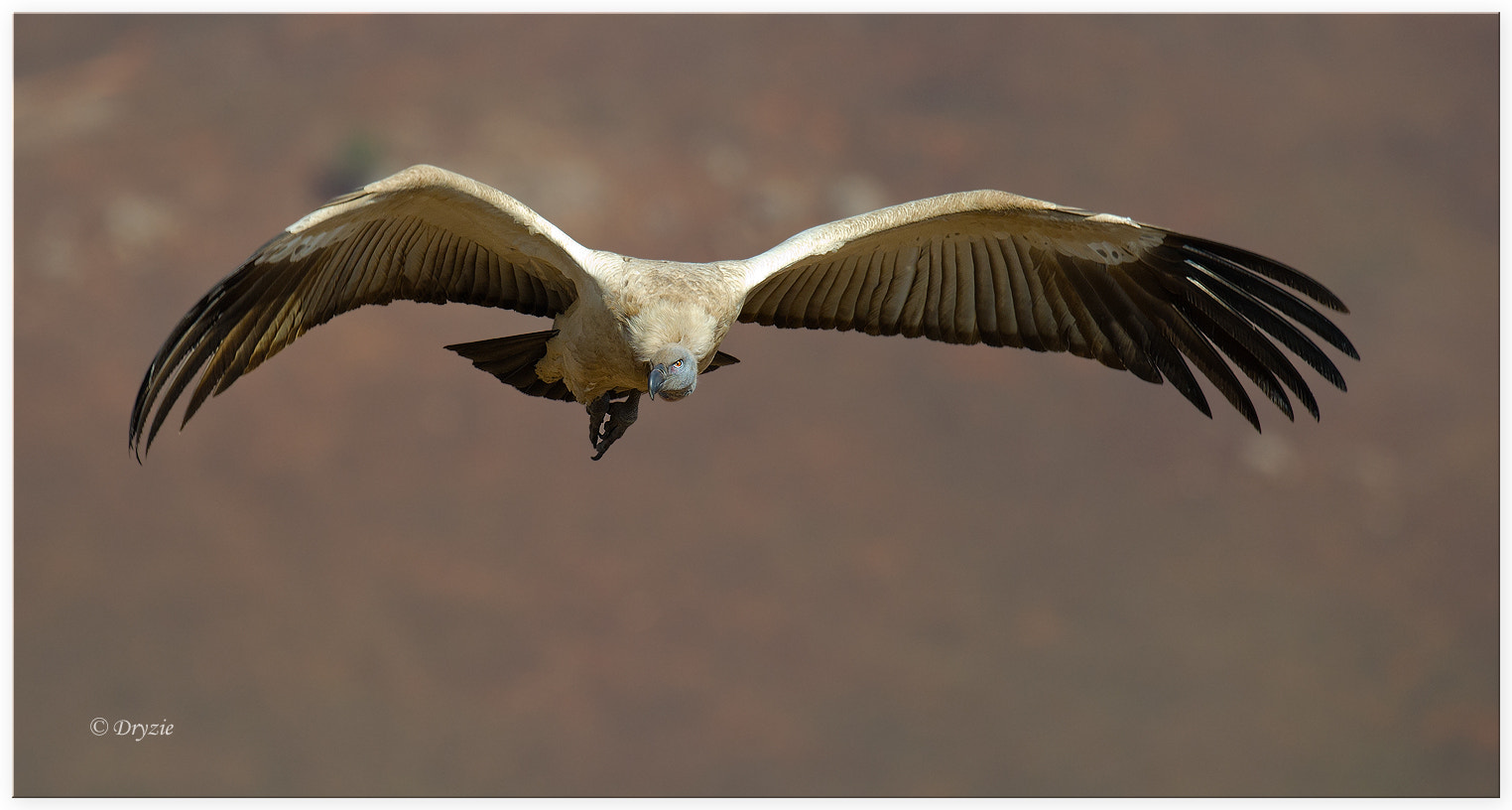 Photograph Cape Vulture 3 by Mark Drysdale on 500px