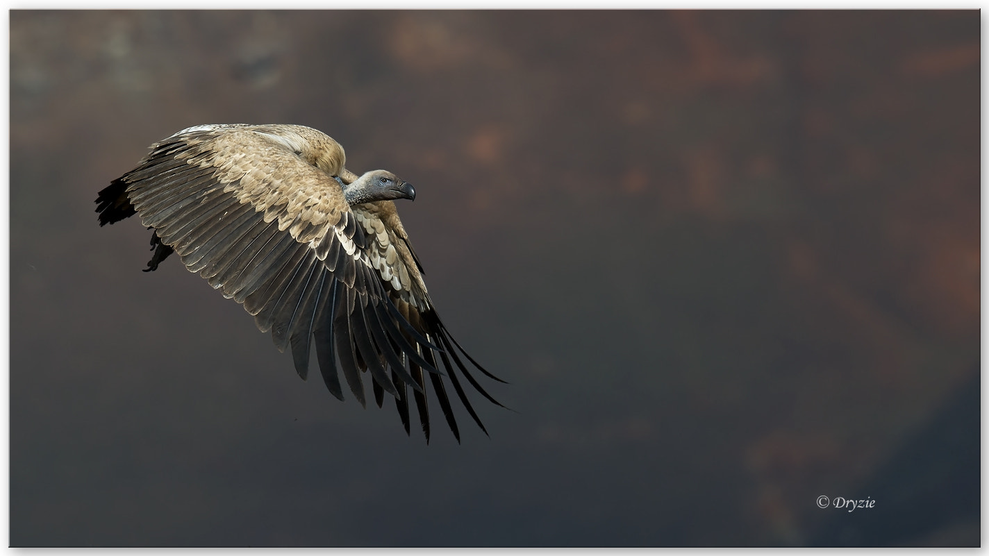 Photograph Cape Vulture 1 by Mark Drysdale on 500px