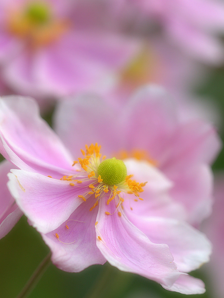 Photograph Japanese Anemone by Richard Loader on 500px