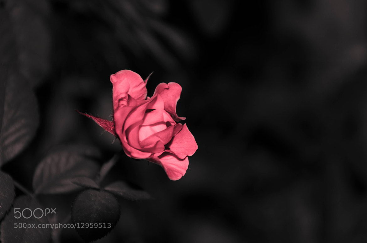 Photograph Rose by Hamed Zarrabi on 500px
