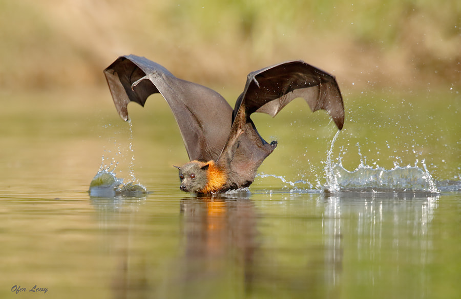 Flying Fox Balancing act... by Ofer Levy on 500px.com
