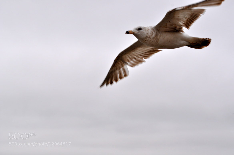 Photograph Flying Gull by Arun Kumar Duddilla on 500px