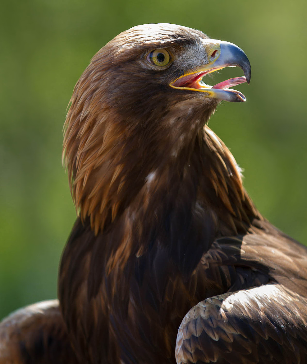 Photograph Steinadler by sneakerzoom .de on 500px