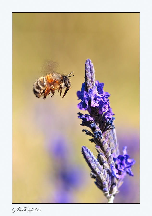 Photograph Bee #3 by Ilia Liphshitz on 500px