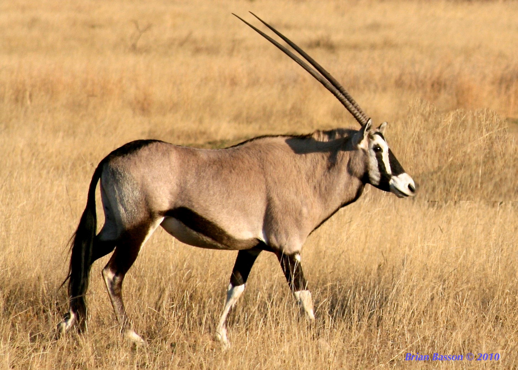 Photograph Oryx Gazelle by Brian Basson on 500px