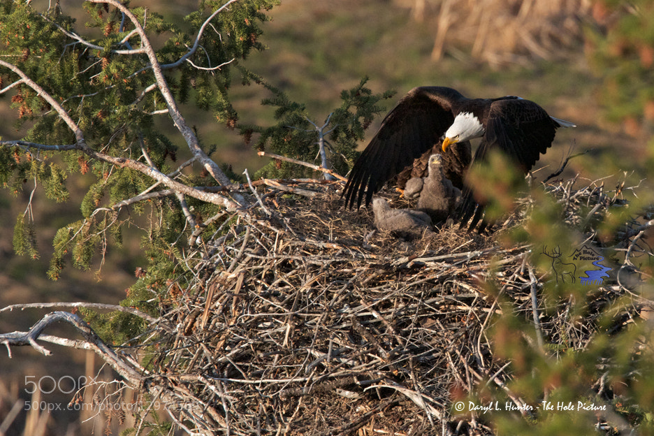 Photograph Fly over, eagles nest by Daryl L. Hunter on 500px