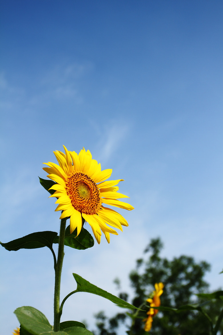 Photograph the sun flower by Chao Lv on 500px