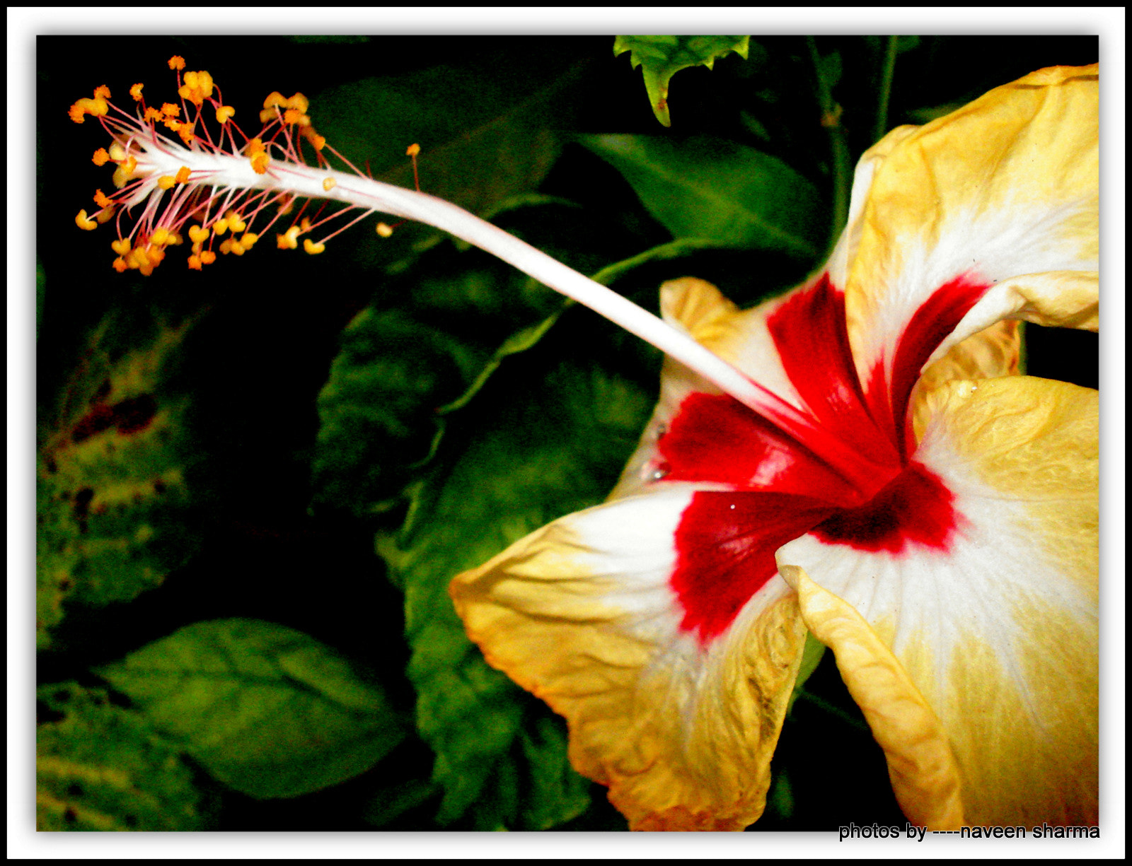Photograph Dual coloured hibiscus with stamen by naveen sharma on 500px