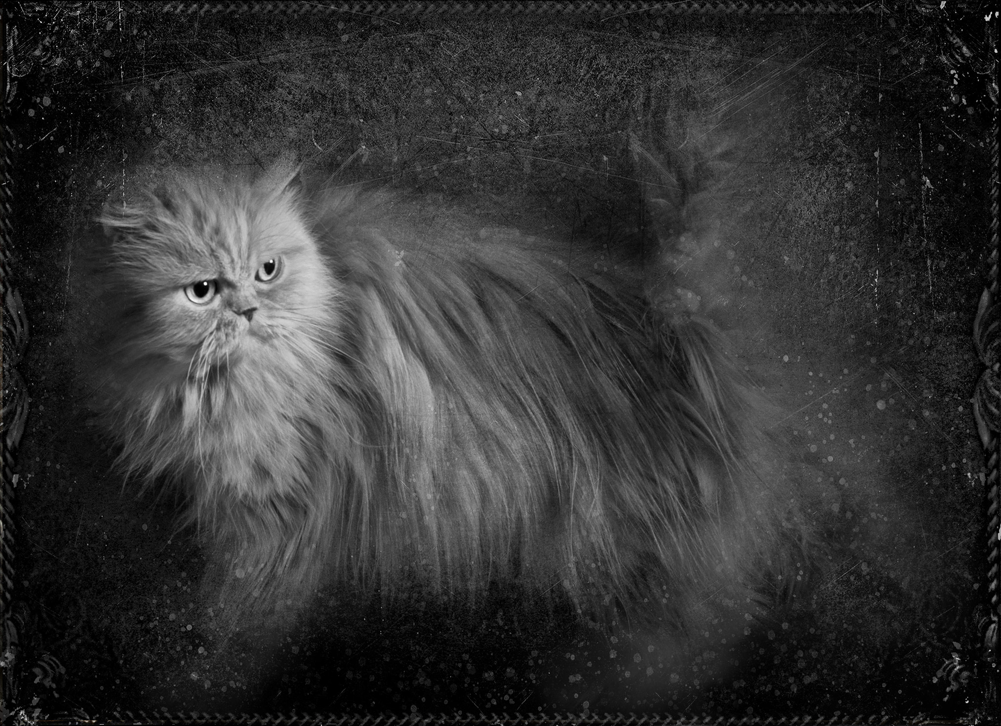 Photograph Persian Cat  by Ivelina  Aasen on 500px