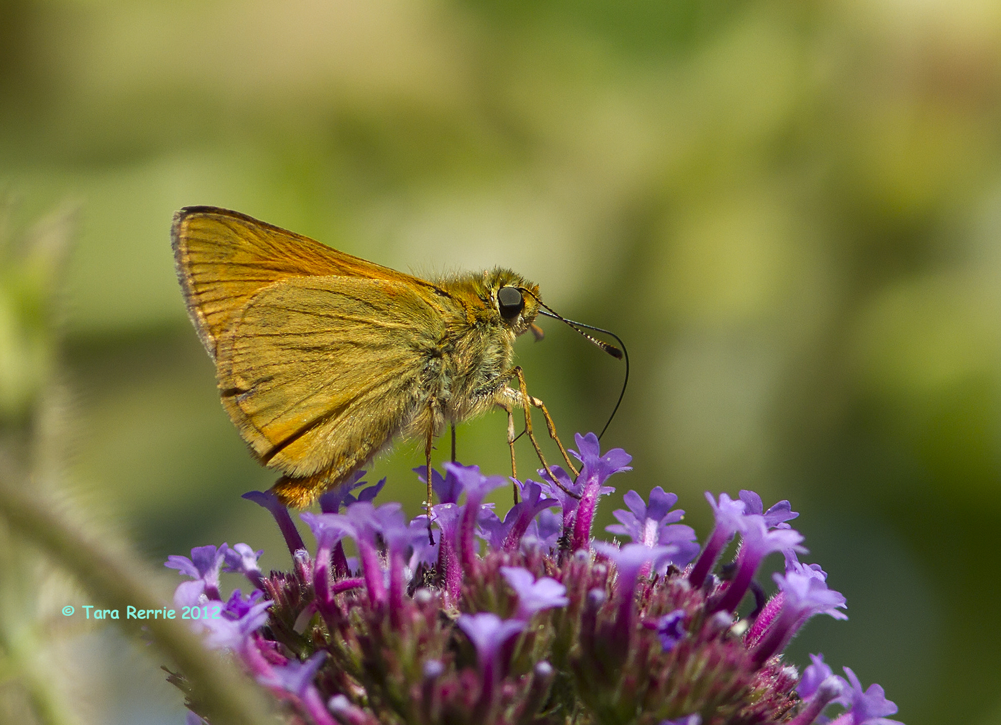 Photograph small skipper by Tara Rerrie on 500px
