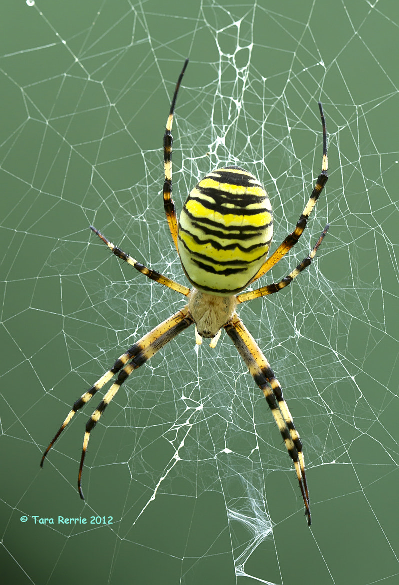 Photograph wasp spider by Tara Rerrie on 500px