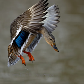 wings up by Bert  de Tilly (BertdeTilly)) on 500px.com