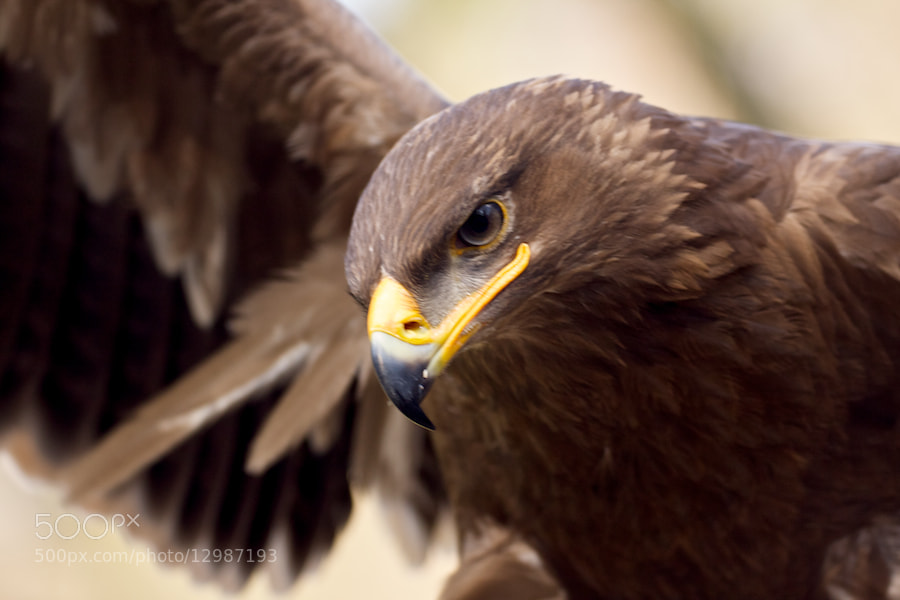Photograph Bald Eagle approaching by Jörn Stevens on 500px