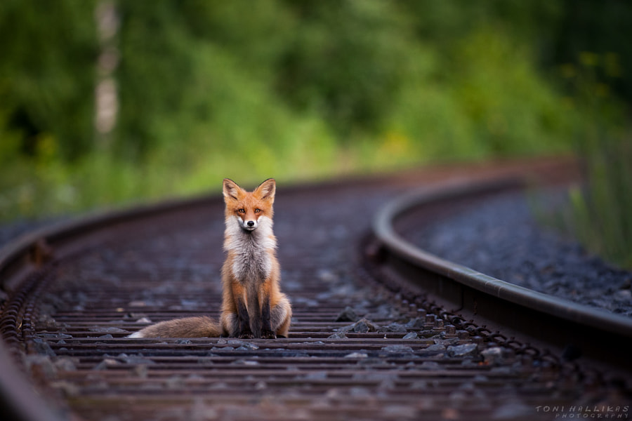 Fox on railroad by Toni Hallikas on 500px.com