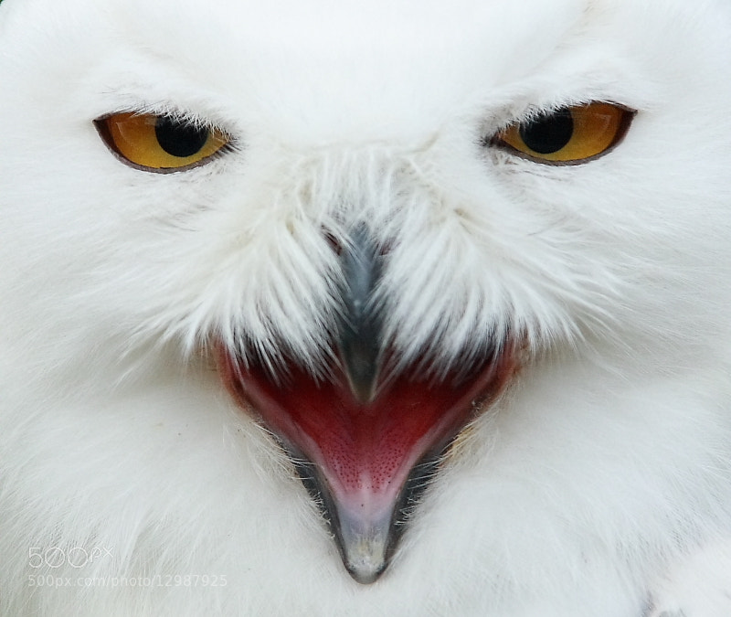 Photograph snowowl by chris van dolleweerd on 500px