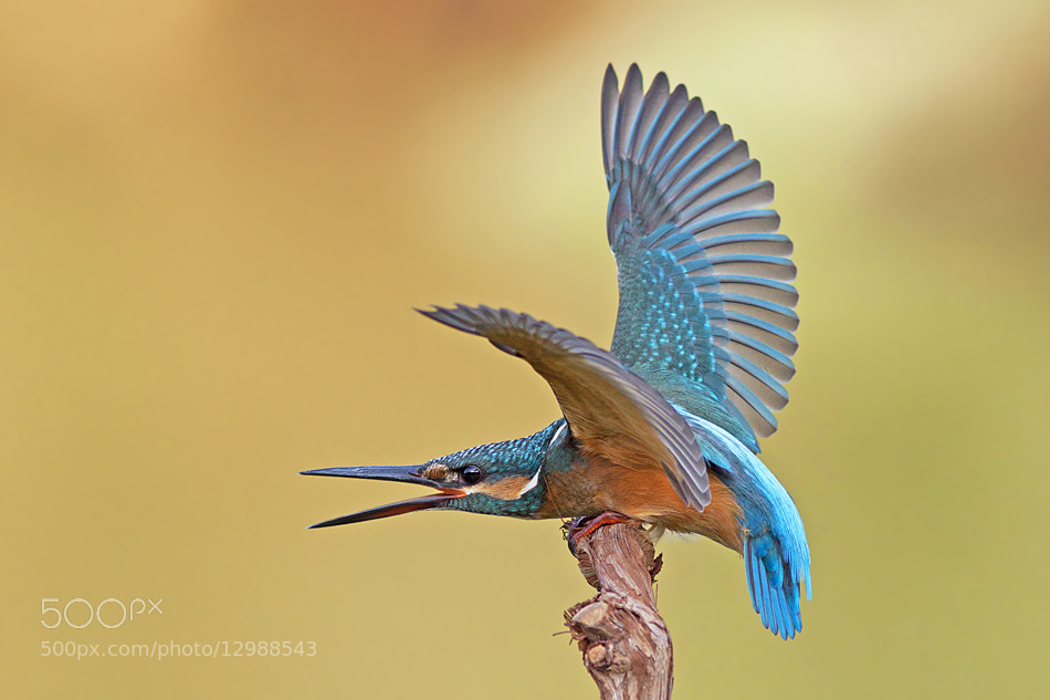 Photograph Common Kingfisher by Roy Avraham on 500px