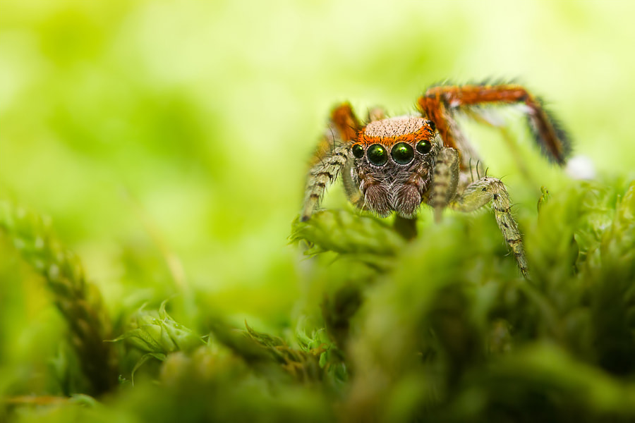 Photograph Jumping spider : Saitis Barbipes male by C G on 500px