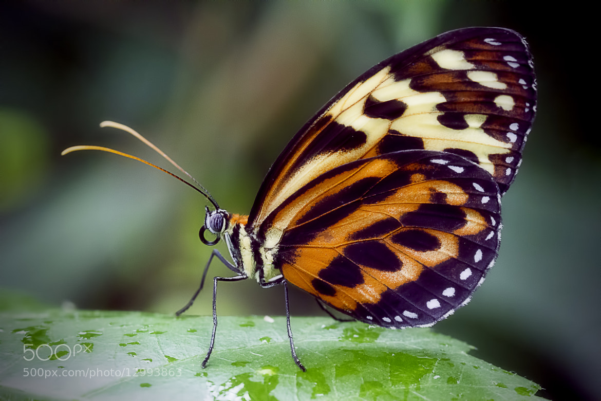 Photograph Portrait of a Butterfly by Wim Bolsens on 500px