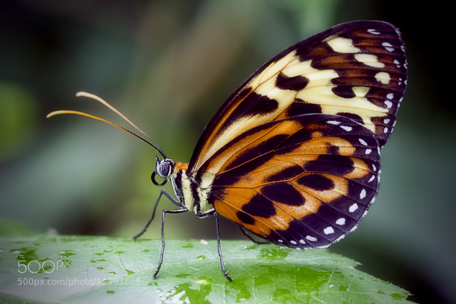 Portrait of a Butterfly by Wim Bolsens (mozzie)) on 500px.com