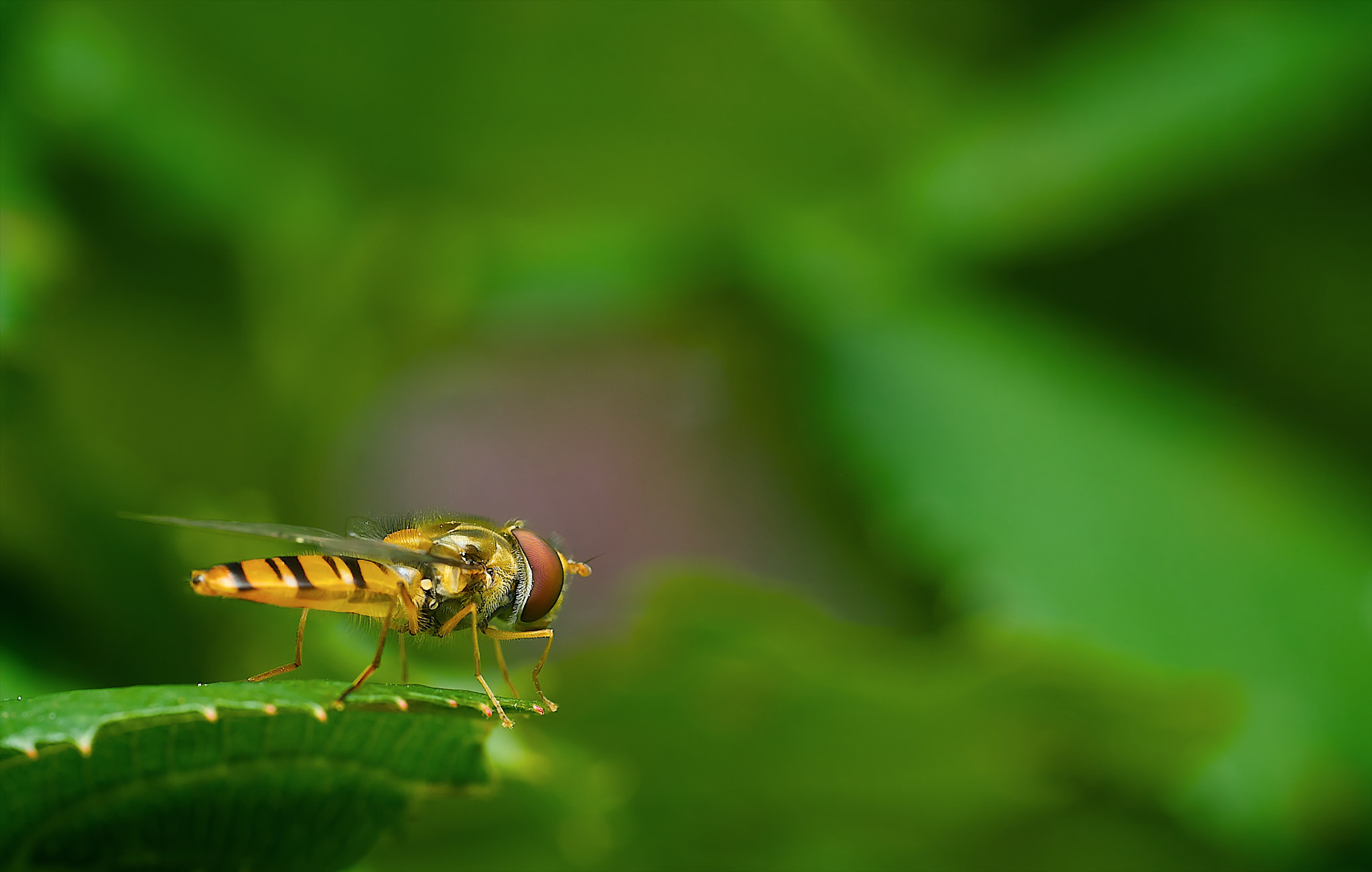 Photograph Hoverfly by John Barker on 500px