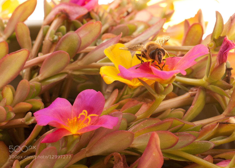 Photograph Busy Bee by Geert-Jan Kettelarij on 500px
