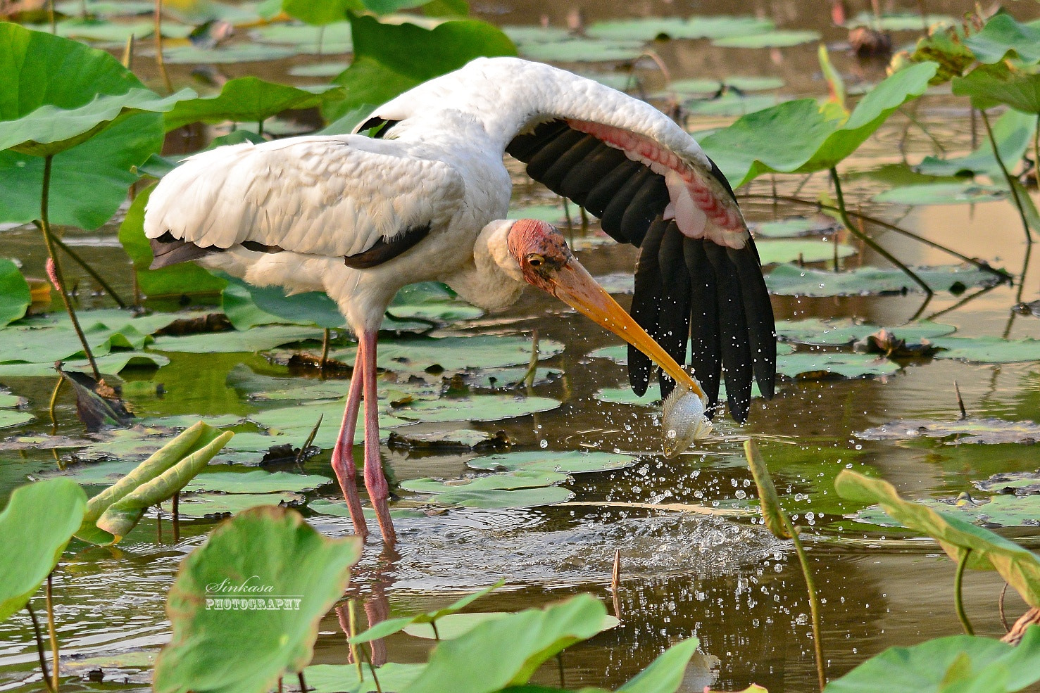 Photograph Milky Stork Fishing by Richard Lim on 500px