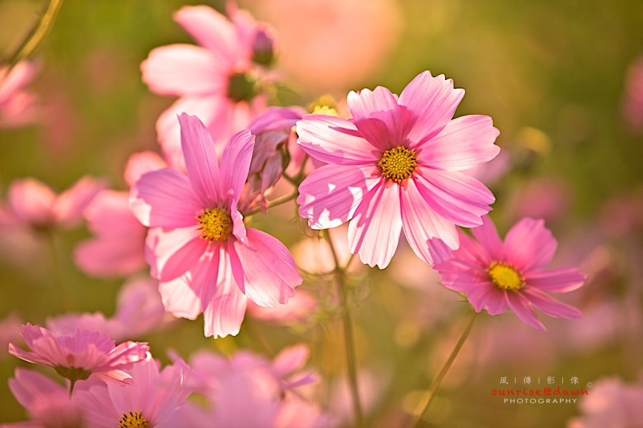 Photograph cosmos in the sun by SUNRISE@DAWN photography 風傳影像 on 500px