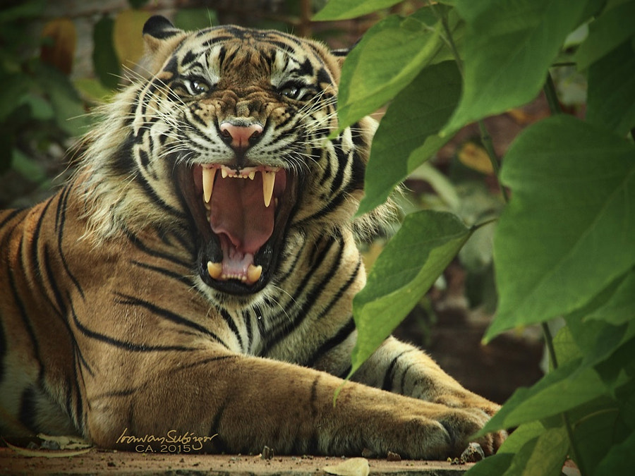 roar ! by Irawan Subingar on 500px.com