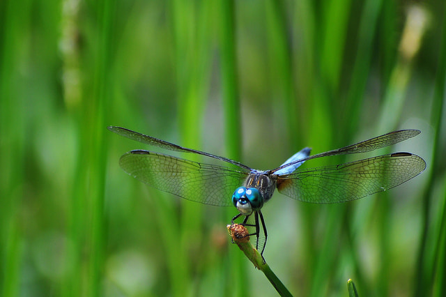 Photograph Dragonfly by Joel Acain on 500px