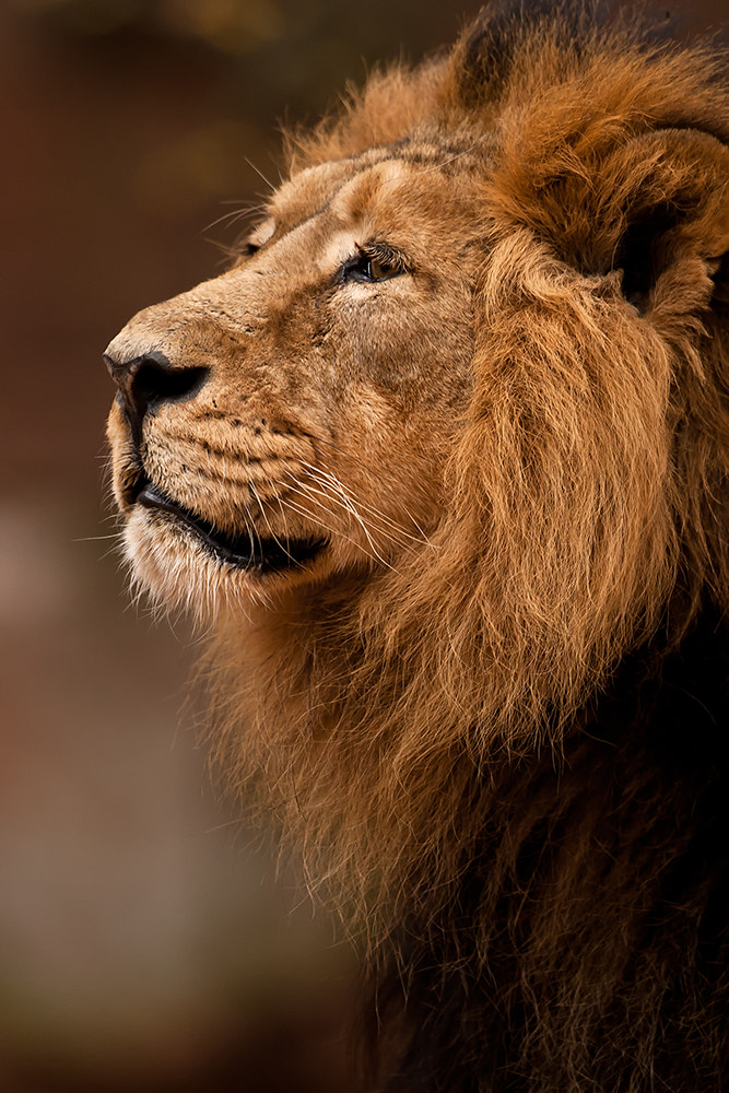 Photograph King-Lion by Sven Dannhäuser on 500px