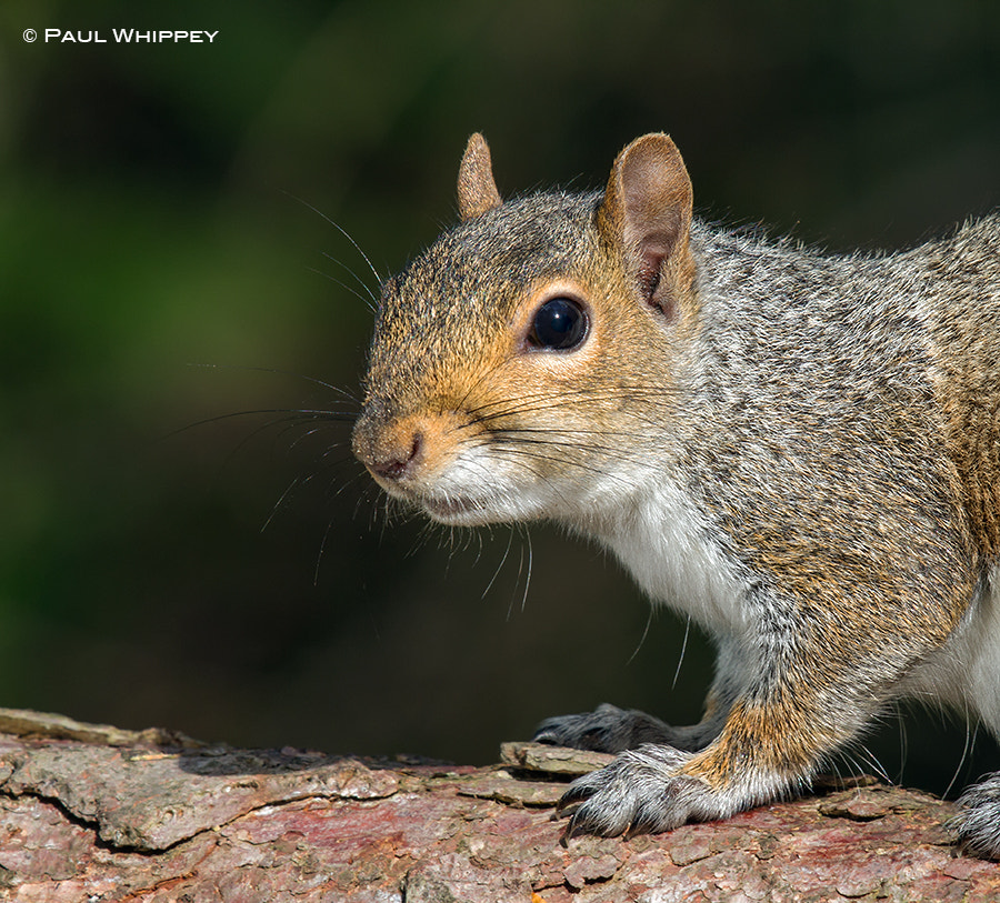 Photograph Gray squirrel (Sciurus carolinensis) by Paul Whippey on 500px