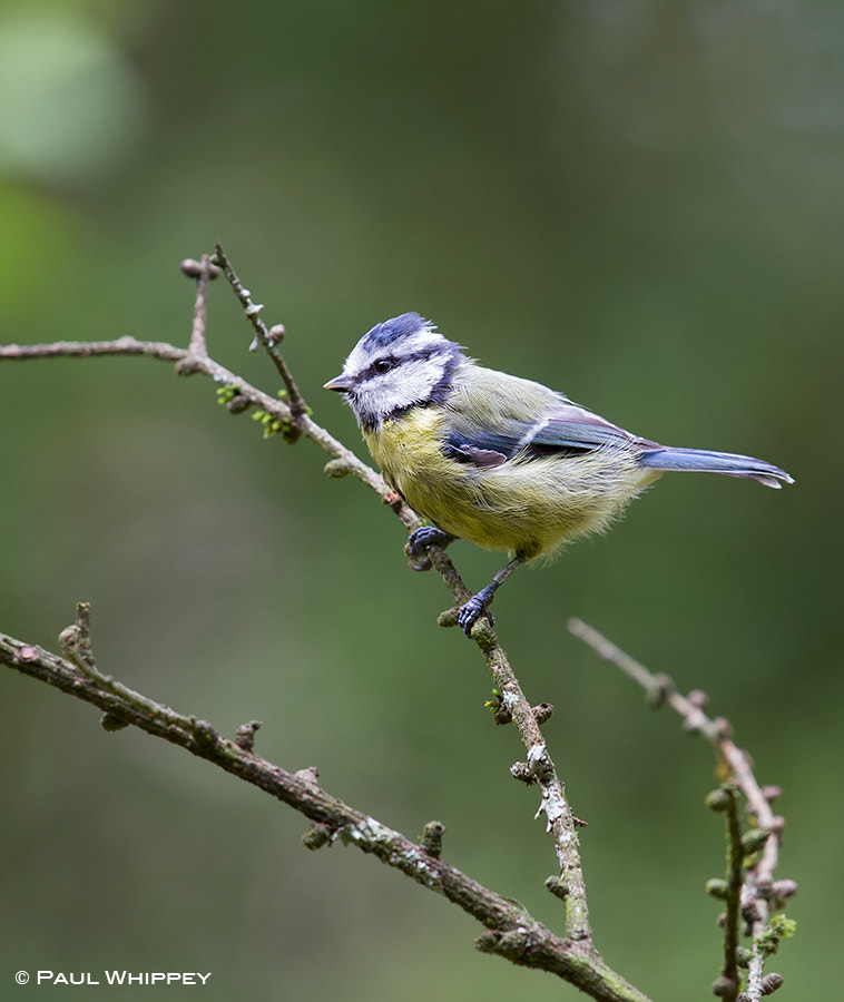 Photograph Blue tit (Cyanistes caeruleus) by Paul Whippey on 500px