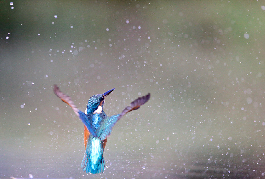 The kingfisher by MARC BOUYER on 500px.com