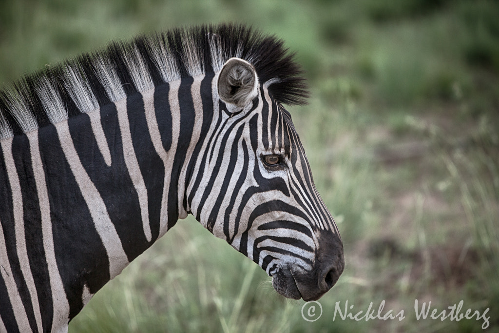 Photograph Zebra out in the wild by Nicklas Westberg on 500px
