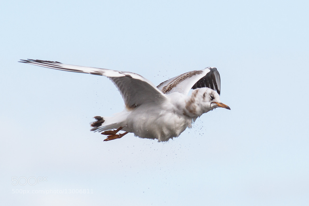 Photograph Black-headed Gull in flight by Reynir Skarsgård on 500px