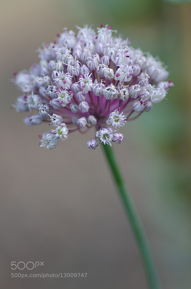 Photograph Allium porum #2 by FACHE Sébastien on 500px