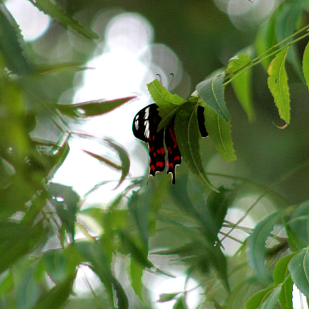 butterfly, Canon EOS-1D MARK II, Canon EF 75-300mm f/4-5.6 USM