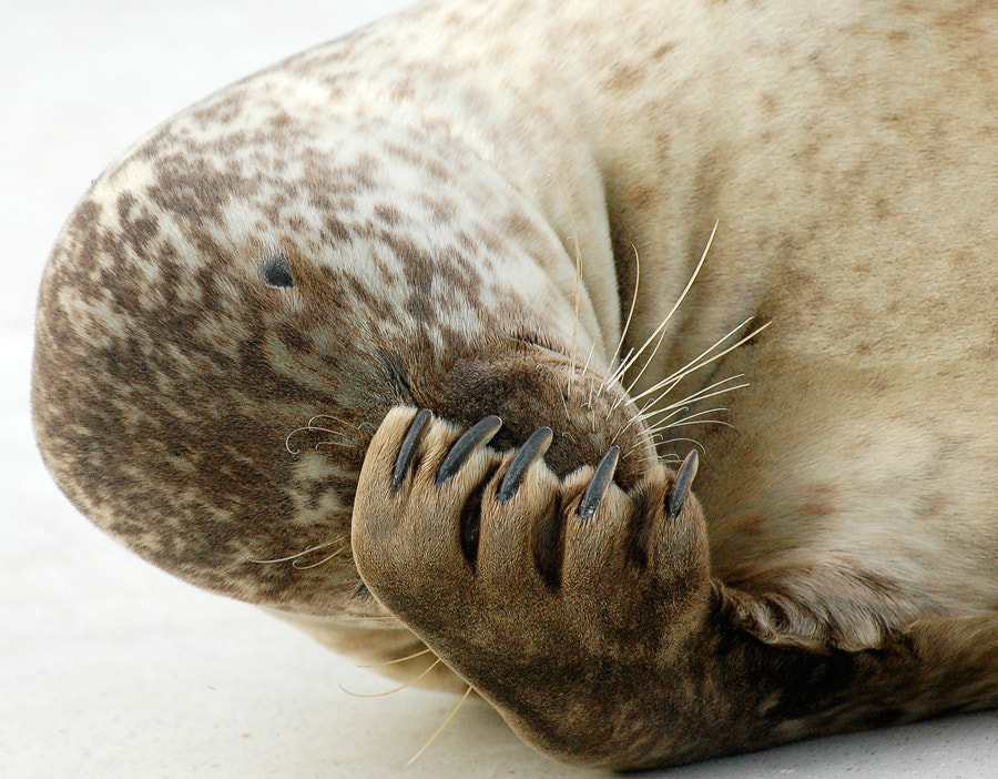 Photograph Happy seal III, a little shy by Christina Skov on 500px