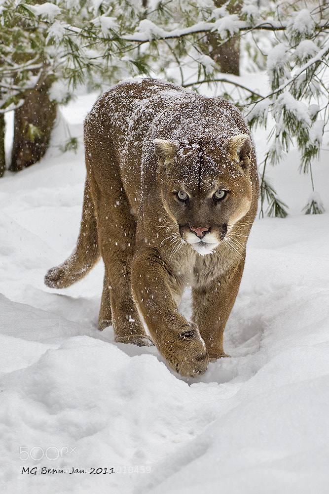 Photograph Cougar by Malcolm Benn on 500px