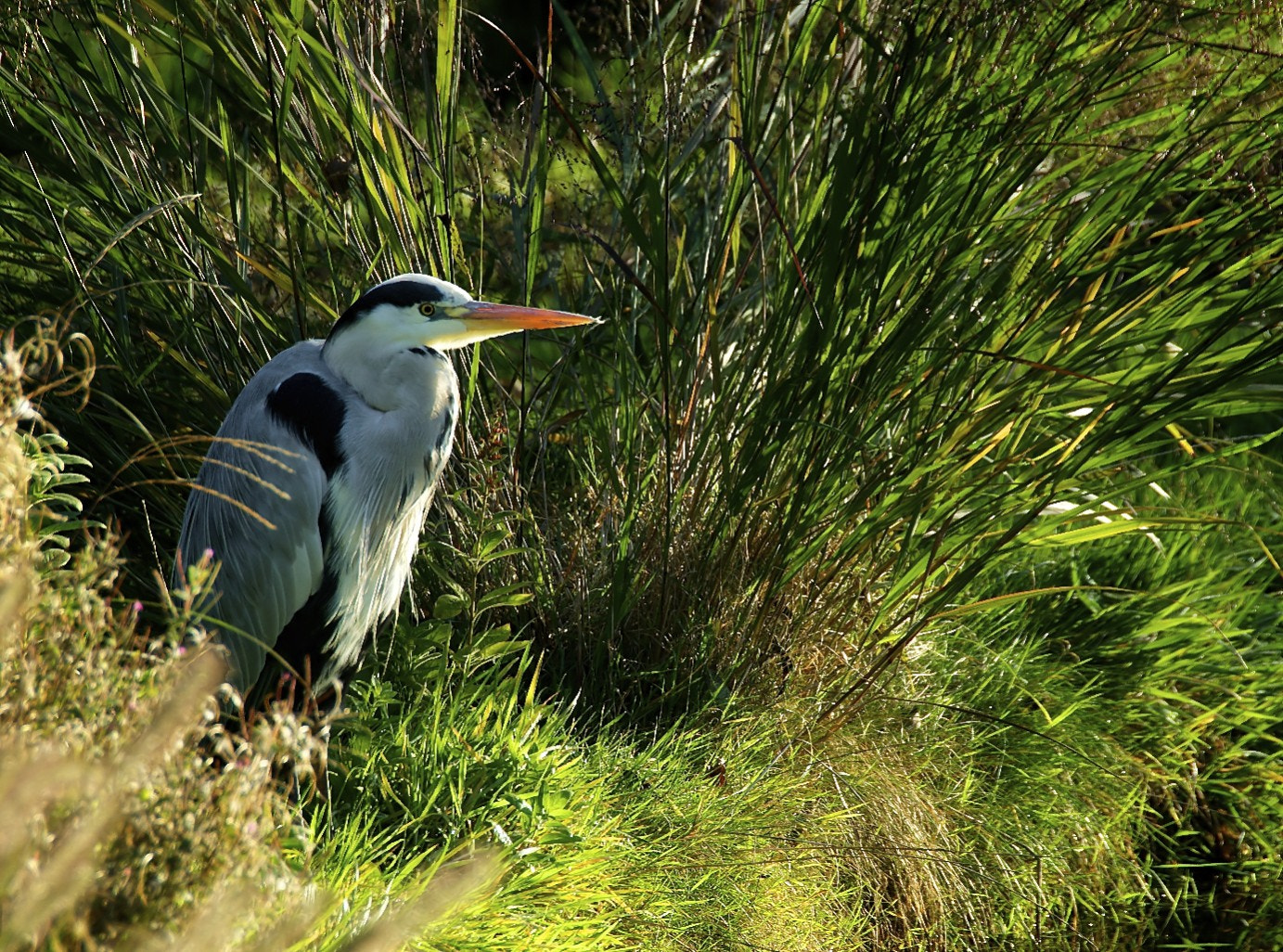 Photograph Heron hiding in grass by John Barker on 500px