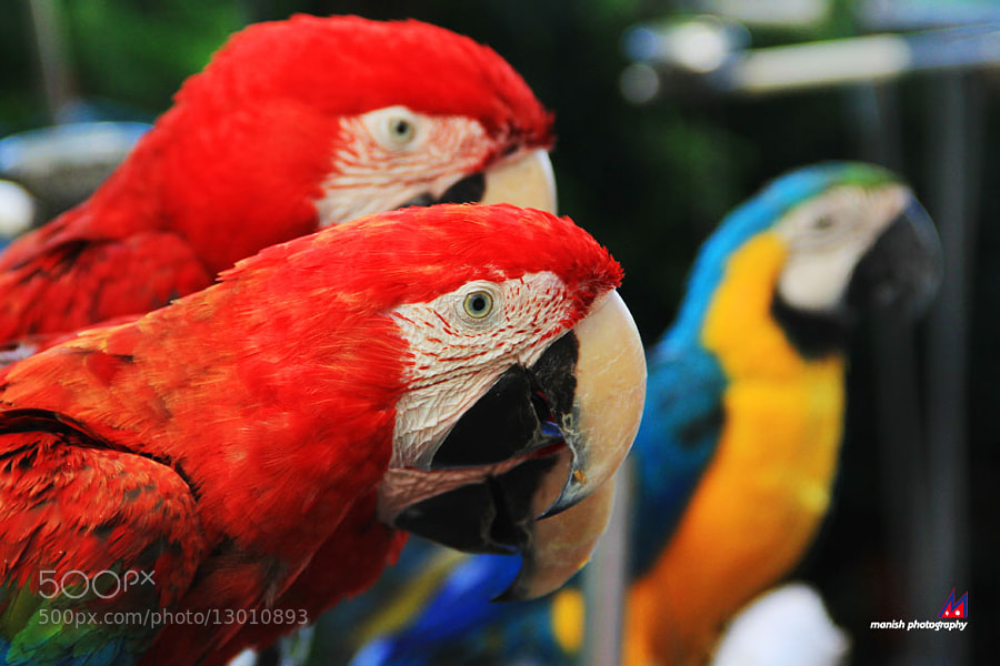 the four parrots by Manish Shakya (MrShakya)) on 500px.com