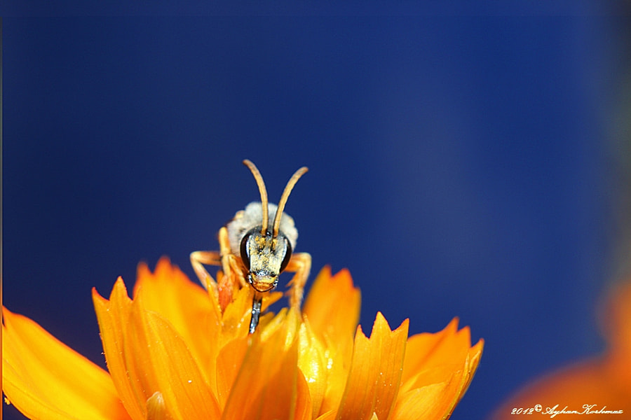 Photograph Bee by Ayhan Korkmaz on 500px